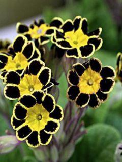 Primula elatior Gold Lace Black - Primevère élevée.