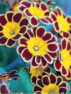 Primula elatior Gold Lace Red - Primevère élevée