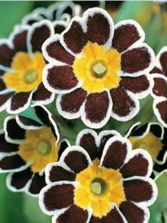 Primula elatior Silver Lace Black - Primevère élevée.