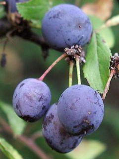 Prunellier - Prunus spinosa