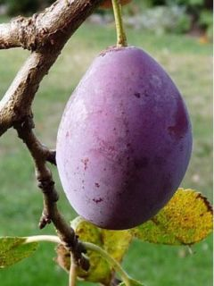 Prunier Prune d'Ente (Pruneau d'Agen) - Prunus Domestica