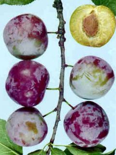 Prunier Reine Claude d'Althan (violette) Bio en racines nues, forme scion