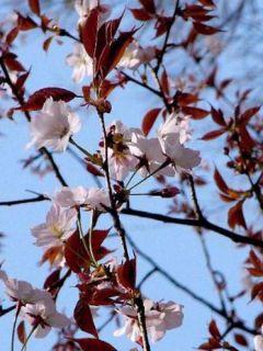 Cerisier à fleurs de Sargent - Prunus sargentii