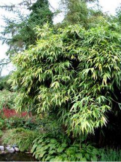 Bambou Métaké - Pseudosasa japonica