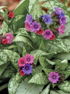 Pulmonaire Silver Bouquet - Pulmonaria saccharata