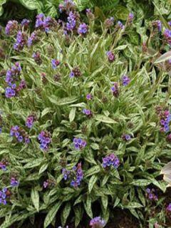 Pulmonaire longifolia Cevennensis - Pulmonaire à longues feuilles