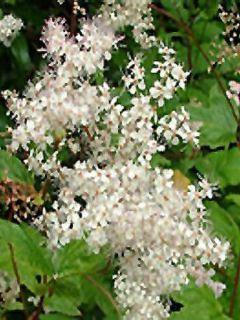 Filipendula purpurea Alba - Reine des Prés