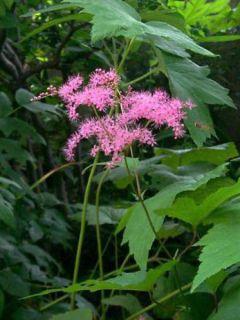 Filipendula purpurea - Reine des Près
