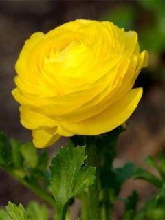 Renoncule fleur double jaune - Ranunculus asiaticus