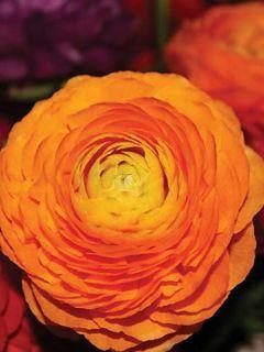 Renoncule fleur double orange - Ranunculus asiaticus