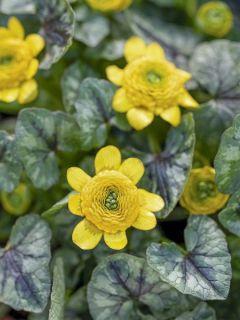 Ranunculus ficaria Collarette - Ficaire fausse-renoncule.