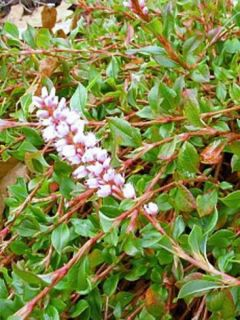 Renouée rampante - Persicaria vacciniifolia