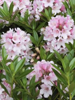 Rhododendron 'Bloombux'