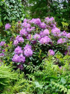 Rhododendron catawbiense 'Boursault'