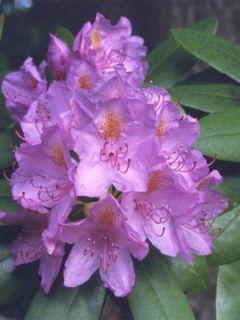 Rhododendron catawbiense Grandiflorum - Grand rhododendron