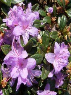 Rhododendron Moerheim - Rhododendron nain