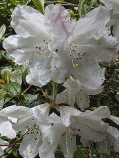 Rhododendron Fragrantissimum - Rhododendron nain et parfumé