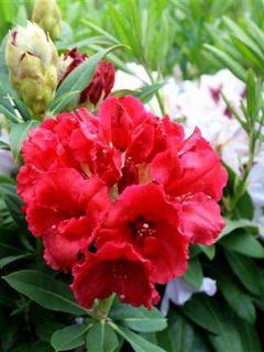 Rhododendron Wilgen's Ruby