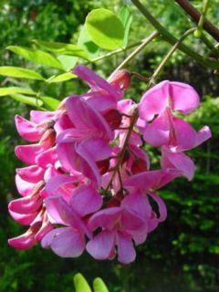 Robinia Casque Rouge - Robinier faux acacia