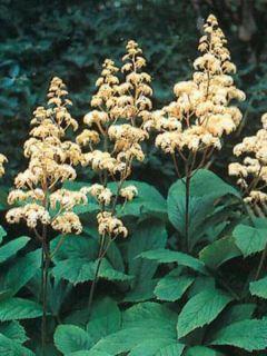Rodgersia sambucifolia - Rodgersia à feuilles de sureau