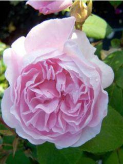 Rosier ancien Chapeau de Napoléon - Rosa centifolia Cristata