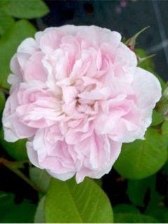 Rosier Fantin Latour - Rosa (x) centifolia