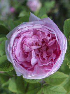 Rosier Centifolia Muscosa - Rosier botanique