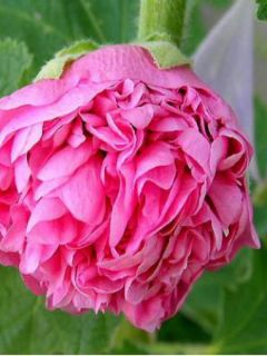 Rose trémière - Alcea rosea Chater's Double Rose
