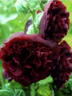 Rose trémière - Alcea rosea Chater's Double Violet