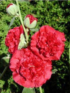 Rose Trémière - Alcea rosea Chatter's Red Double
