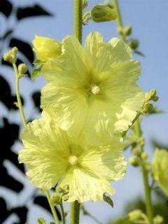 Rose trémière - Alcea rugosa