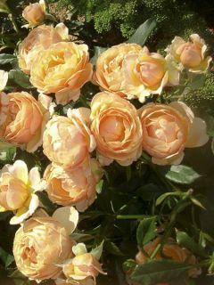 Rosier Amber Queen ® - Rosa (x) floribunda