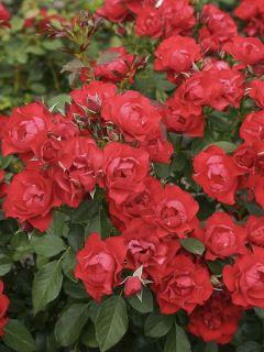 Rosier couvre-sol Black Forest Rose en racines nues