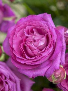 Rosier à grandes fleurs Claire Marshall en pot de 4L