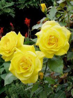 Rosier Friesia ® - Rosier à fleurs groupées