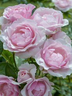 Rosier à grandes fleurs Gilles de Brissac ® Dorella