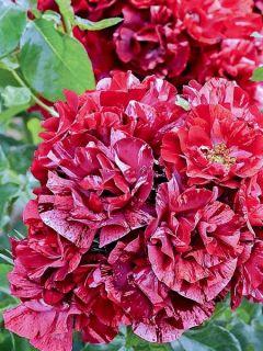 Rosier à fleurs groupées 'La Reine de la Nuit '