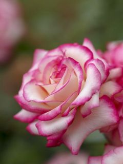Rosier Laminuette - Rosa (x) floribunda