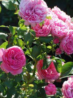 Rosier à fleurs groupées Leonardo da Vinci