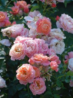 Rosier à fleurs groupées 'Marie Curie'