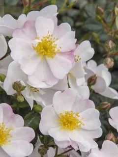 Rosier à fleurs groupées 'Medeo'