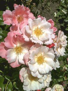 Rosier à fleurs groupées 'Nectar Garden Roseromantic Korum'