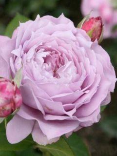 Rosier à fleurs groupées Novalis en racines nues