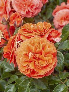 Rosier à fleurs groupées 'Orangerie'