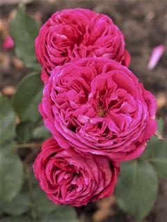 Rosier à fleurs groupées 'Parfuma Baronne Caroline Korbevm'