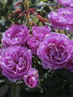 Rosier à fleurs groupées 'Parfuma Catherine De Medicis Ko