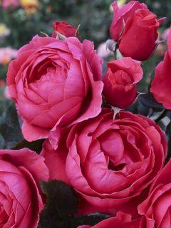 Rosier à fleurs groupées 'Parfuma Princesse De Jardin Marie