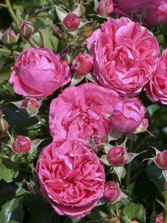 Rosier à fleurs groupées 'Patio Rose Moin Moin Korfloci23