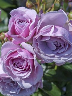 Rosier à fleurs groupées 'Patio Rose Nautica'