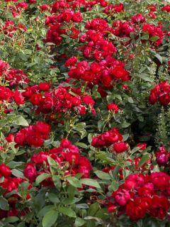 Rosier à fleurs groupées 'Patiorose Milano'